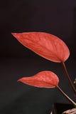 Dos hojas del zen del rojo en personas Fotos de archivo libres de regalías