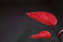 Dos hojas del zen del rojo en personas Imagenes de archivo