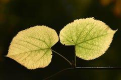 Dos hojas en una ramita Fotografía de archivo libre de regalías