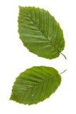 Dos hojas verdes de árbol de olmo aisladas en el backgro blanco Foto de archivo
