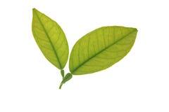 Dos hojas verdes del árbol anaranjado aisladas sobre blanco Imagen de archivo libre de regalías
