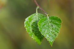 Dos hojas verdes del abedul Foto de archivo libre de regalías