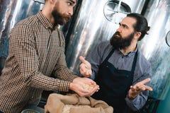 Dos hombres barbudos comprueban la calidad del trigo en cervecería Control de calidad de la cebada para la producción de la cerve foto de archivo libre de regalías