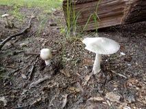 Dos hongos del veneno en el bosque Imagen de archivo libre de regalías
