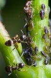 Dos hormigas con los áfidos Foto de archivo