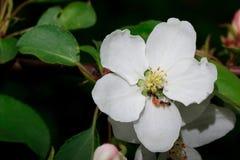 Dos hormigas con una larva en un manzano floreciente Imagen de archivo