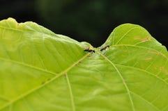 Dos hormigas negras Fotografía de archivo