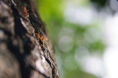 Dos hormigas que caminan en la corteza Imagen de archivo libre de regalías