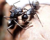 Conspiración de dos hormigas Imagenes de archivo