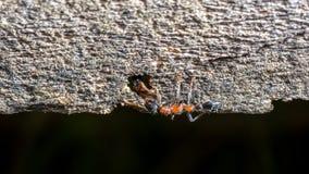 Dos hormigas que saludan Imágenes de archivo libres de regalías