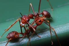 Dos hormigas rojas Imágenes de archivo libres de regalías