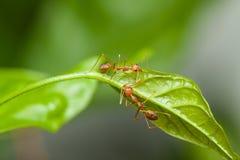 Dos hormigas rojas que caminan en la hoja verde Fotografía de archivo