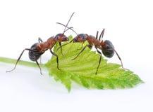 Dos hormigas y hoja verde Fotos de archivo