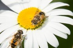 Dos Hoverfly en una manzanilla Fotografía de archivo