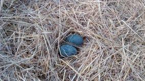 Dos huevos de la avestruz Fotografía de archivo libre de regalías