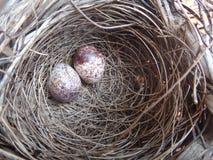 Dos huevos del pájaro en una jerarquía Fotos de archivo