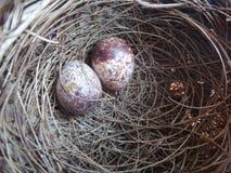 Dos huevos del pájaro en una jerarquía Imágenes de archivo libres de regalías