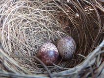 Dos huevos del pájaro en una jerarquía Fotografía de archivo libre de regalías