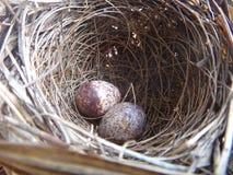 Dos huevos del pájaro en una jerarquía Fotografía de archivo