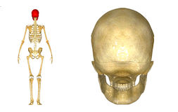 Dos humain de crâne Photo stock