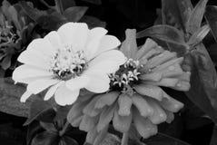 Dos igualmente en blanco y negro fotos de archivo