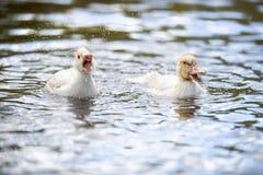 Dos indodas del bebé nadan en la charca el día de verano Fotos de archivo