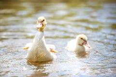 Dos indodas del bebé nadan en la charca el día de verano Imagenes de archivo