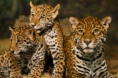 Familia de Jaguar Foto de archivo