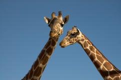Dos jirafas imagenes de archivo