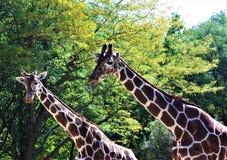 Dos jirafas Fotografía de archivo libre de regalías