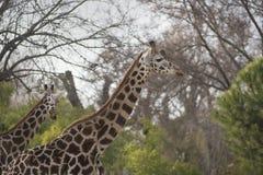 Dos jirafas adultas africanas que caminan durante el día Foto de archivo