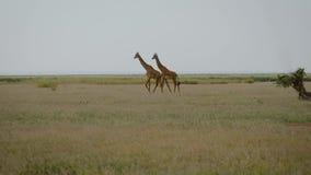 Dos jirafas africanas salvajes que caminan agraciado en el llano del prado en sabana metrajes