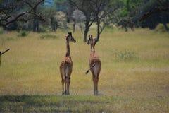 Dos jirafas del bebé en los llanos en África Imagen de archivo