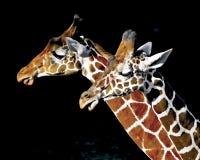 Dos jirafas del parque zoológico Fotos de archivo