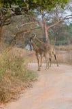Dos jirafas en África Imágenes de archivo libres de regalías