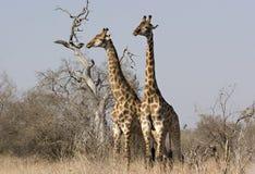 Dos jirafas en el parque de Kruger Foto de archivo