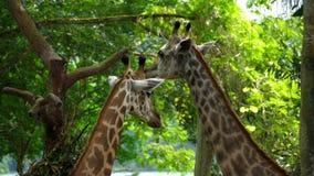Dos jirafas en sabana almacen de metraje de vídeo