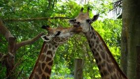 Dos jirafas en sabana metrajes