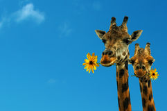 Dos jirafas encantadoras Imagen de archivo