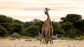 Dos jirafas lindas en amor en Etosha, fauna África del safari de Namibia almacen de metraje de vídeo