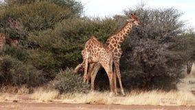 Dos jirafas masculinas jovenes son lucha vista para el afecto de una hembra en Botswana almacen de video