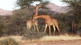 Dos jirafas masculinas jovenes son lucha vista para el afecto de una hembra en Botswana metrajes