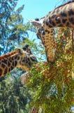Dos jirafas que comen en el coto de la fauna imagen de archivo libre de regalías