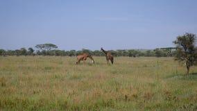 Dos jirafas que pastan en un pasto en la sabana africana metrajes