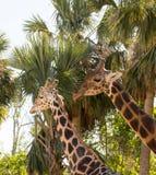 Dos jirafas que se colocan cerca de uno a delante de árboles foto de archivo