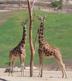 Dos jirafas que tienen mediados de comida del día Foto de archivo libre de regalías