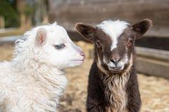 Dos jovenes y pequeños corderos lindos que se unen Foto de archivo