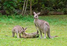 Dos Kangeroos Imagen de archivo libre de regalías