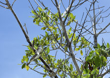 Dos kingbirds grises encaramados en una rama de árbol Fotografía de archivo