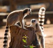 Dos lémures anillo-atados que juegan con uno a madagascar Imágenes de archivo libres de regalías